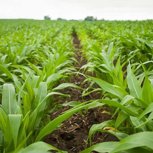 Rows of crops